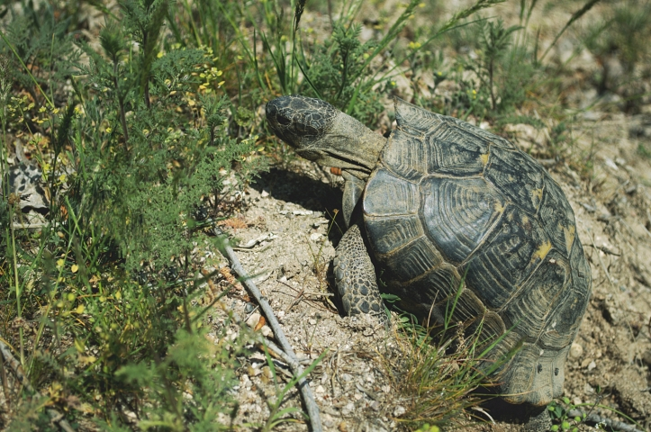 An angry Cappadocian turtle