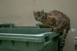 Cappadocian Cat Scavenging in the Bins