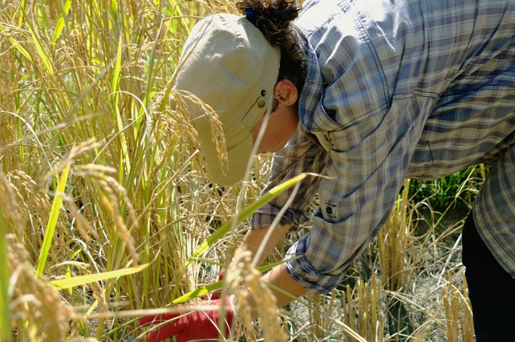 Cutting the rice, Thailand, Rice Harvest, Samoeng