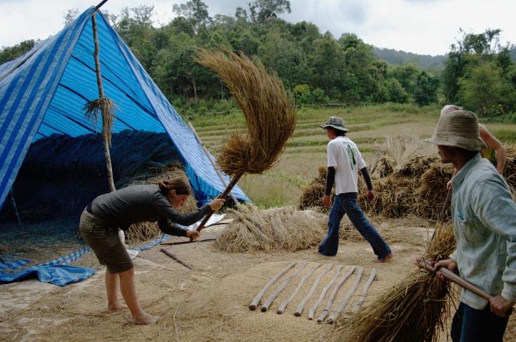Samoeng, rice paddy, rice harvest, farming, thailand, travel,